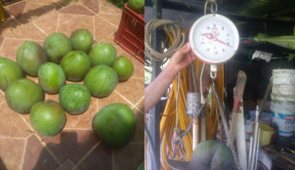 Mangos the size of soccer balls are harvested in Colombia